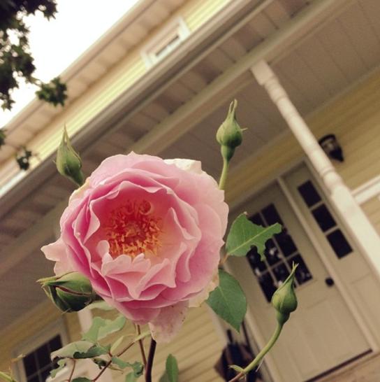 Belle's Story Rose